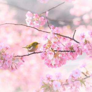 河津桜とメジロ④