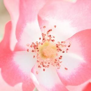 バラの季節(マクロ)