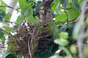 シラカバで巣作り