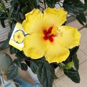 黄色のハイビスカスの花言葉は「輝き」