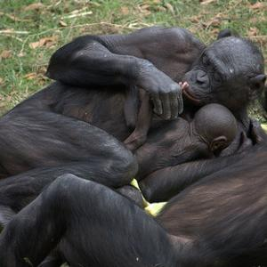 ボノボ、人間より平和な生き物?高い知能をもち、暴力を知らない?~ミライノシテン~