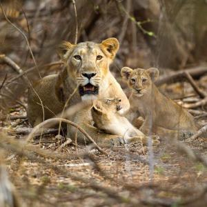 オスの「子殺し」を封じる母ライオンの奇策~ナショナルジオグラフィック~