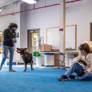 コロナ探知犬いよいよ、非常に高い成功率、研究~ナショナルジオグラフィック~