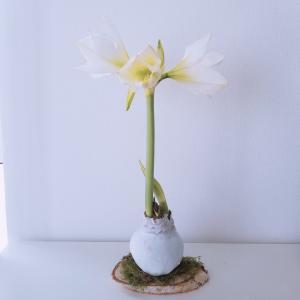 【冬におすすめの花】白アマリリスの花言葉と「No water flowers」