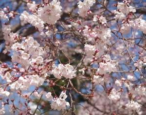 甲府城 桜花咲く