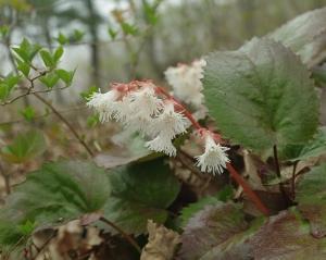 白山のカイイワカガミ花咲く 4月12日