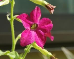 庭の花を撮る ハナタバコ(ニコチアナ)咲く