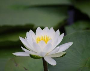 千代田湖上にスイレンの花咲く