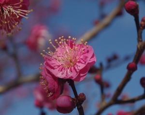 甲府城四季巡り 梅花咲く 令和3年2月1日