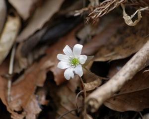 春の妖精ミスミソウの花を撮る