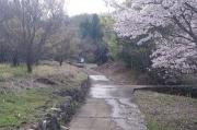 市川三郷町大塚 桜峠の桜