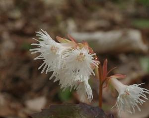白花のイワカガミを訪ねる新緑の山歩き