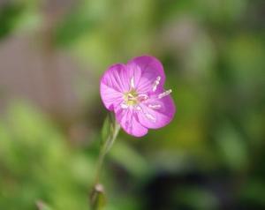 庭の花を撮る 「アカバナユウゲショウ(赤花夕化粧)」