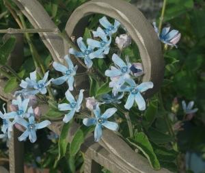 庭の花を撮る ブルースター(オキシペタラム)