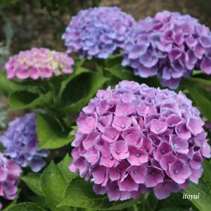 紫陽花の移ろい