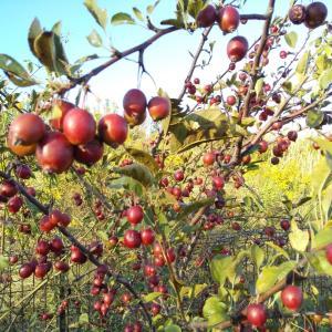 クラブアップル【ヒメリンゴの木】