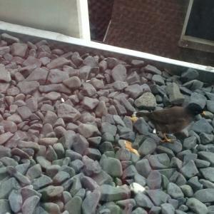 うちのマンションにたまに来る野鳥さん