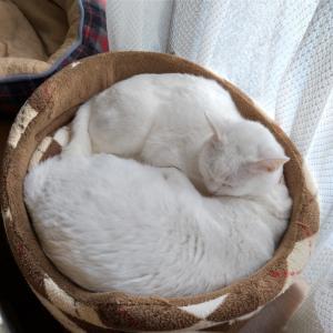 猫団子日和&山菜の天ぷら
