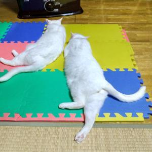 大人ネコのボクシング
