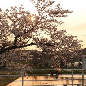桜の向こうに沈む夕陽
