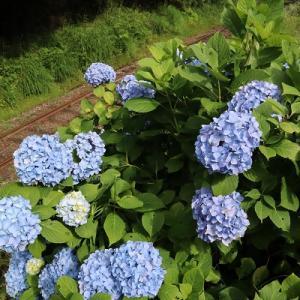 小湊鐵道 紫陽花とハナムグリ。そして紀州の鮎