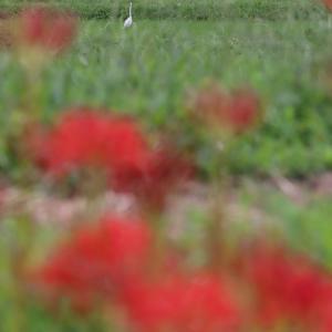 彼岸花とそれぞれの昼ごはん 上総久保-高滝間