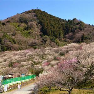 木下沢梅林|高尾梅郷を楽しみながら高尾山周回コースに挑戦!