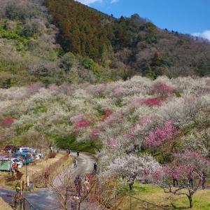 木下沢梅林|高尾山から高尾梅郷お花見ハイキングに行って来ました!