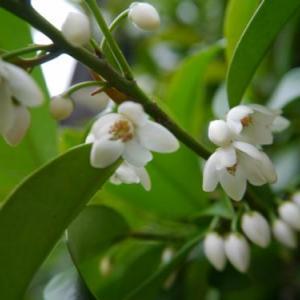 蝋色の榊の花など~。