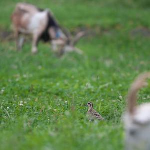 ヤギとムナグロ