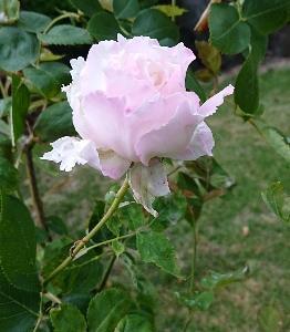 バラがキレイです