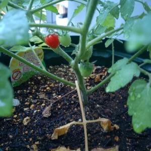 気の早いミニトマト