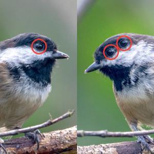 「三つ目の鳥」発見。2つの左目と1つの右目をもつアメリカコガラ