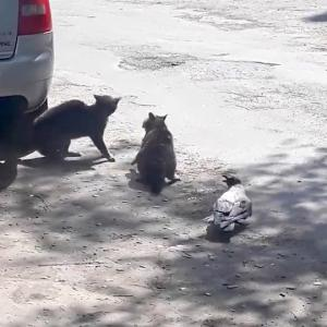 猫のケンカにちょっかいを出すカラス