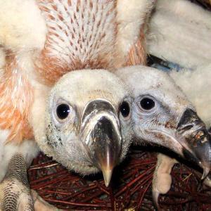 頭が2つある「双頭のワシ」がセルビアの動物園で誕生