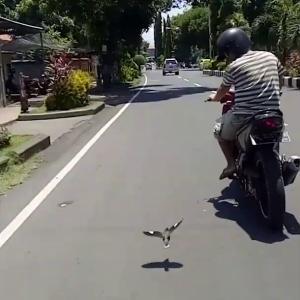 飼い主の青年とバイク散歩する鳥 ジャワハッカ