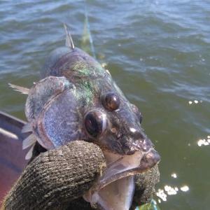 三つ目の魚「ブリンキー」にそっくりのウォールアイが釣れた!