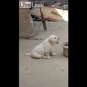 ニワトリのまねをして「コケコッコー!」と鳴く犬