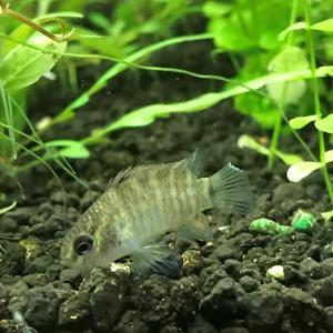 貝を食べる魚