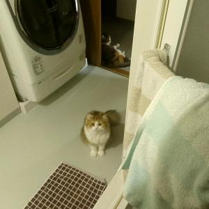 お風呂上がりを待つ猫。