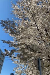 とおりすがりの桜