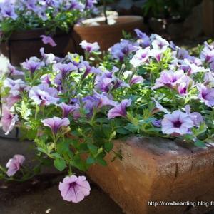 【自粛生活】園芸初心者でもポコポコ花が溢れるサフィニアを今年も育て始めました【ガーデニングでおうち時間】