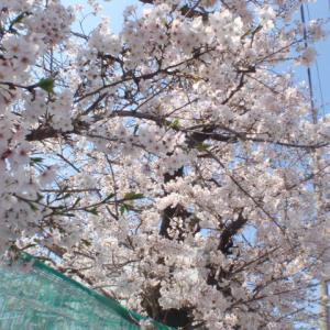 春うらら!