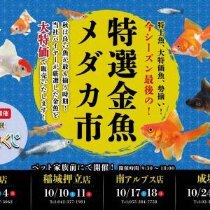 ベタ祭り開催❗そして今年最後の金魚メダカ市✨