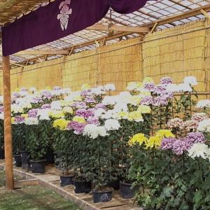相楽園の菊花展