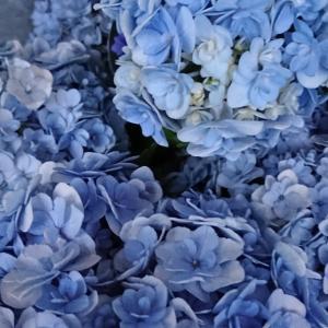うちのこ紫陽花。