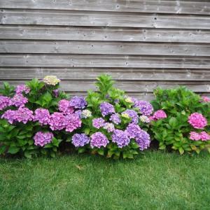 オランダの夏は元々こんなだった & 庭の紫陽花