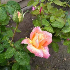 雨ばかり・・・& 庭の薔薇を少し