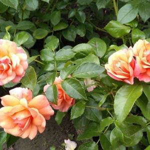6、7月に咲いた我が家の薔薇