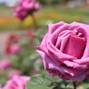 薔薇と一緒のフラワーフォト